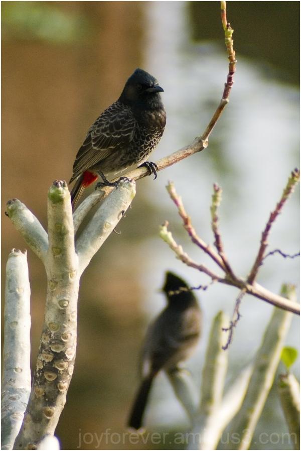 bird bulbul redvented bengal India