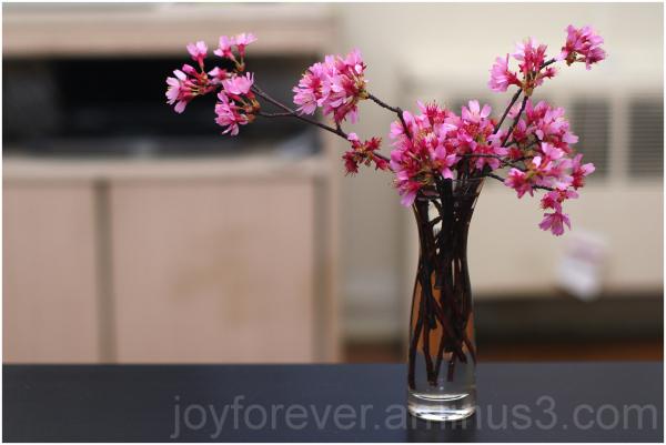 cherry blossom flower vase still-life closeup pink