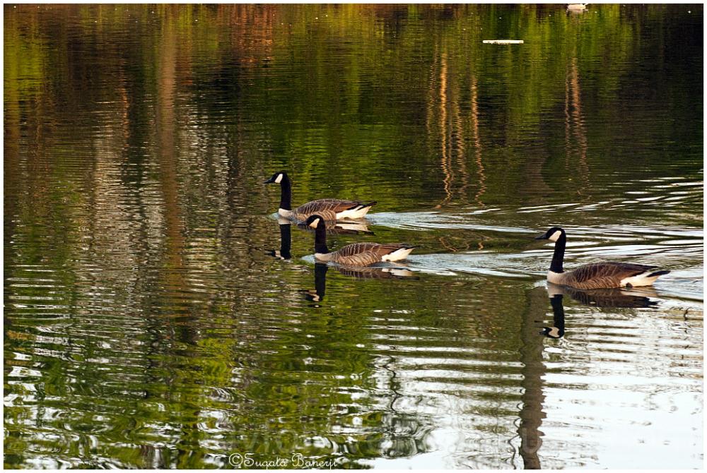 water lake canada-geese goose duck bird reflection