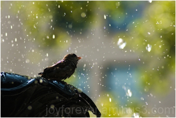 sparrow bird water drops fountain new-york