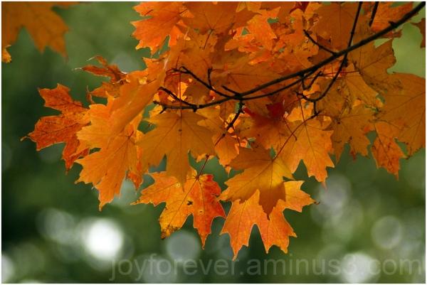 maple leaf fall foliage orange color tree plant