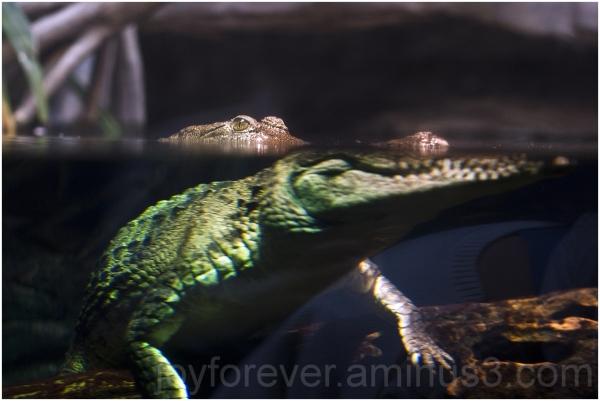 Crocodile water aquarium eye reptile refraction