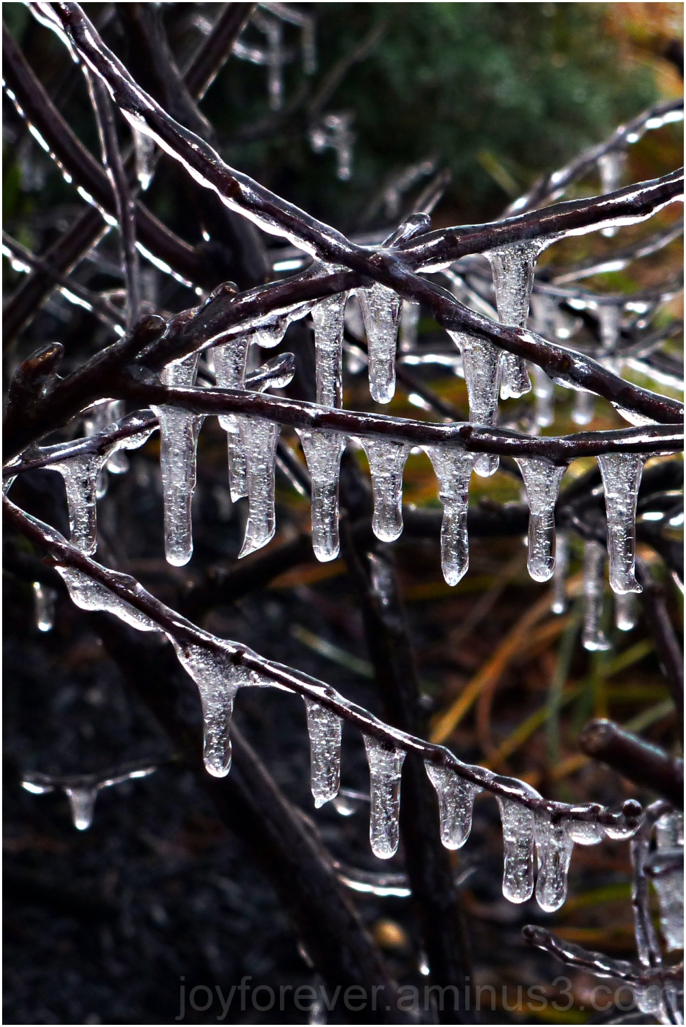 ice icicle water plant twigs branches winter