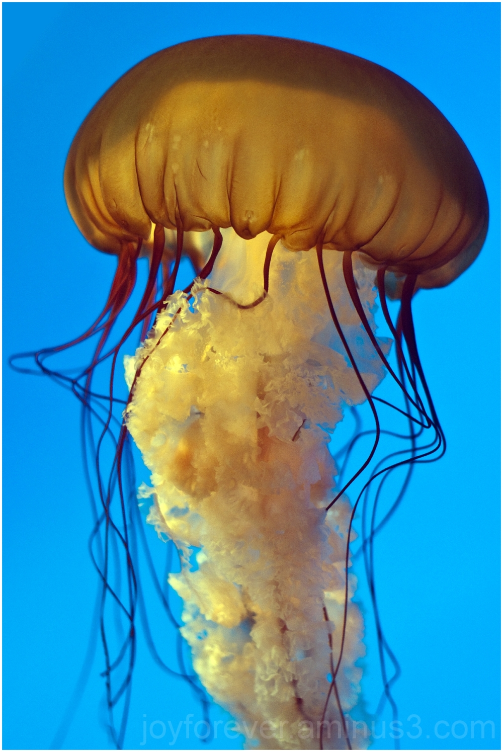 jellyfish sea-nettle Baltimore National-aquarium