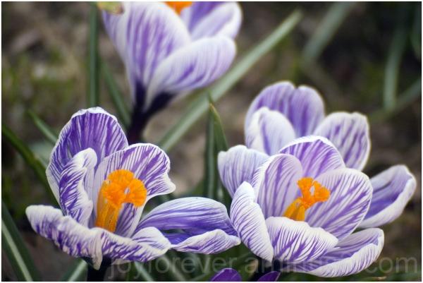 crocus flower spring violet purple NYC close-up