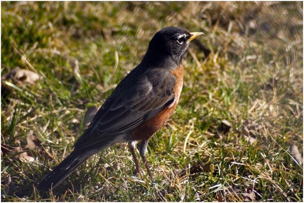 robin bird park spring New-york