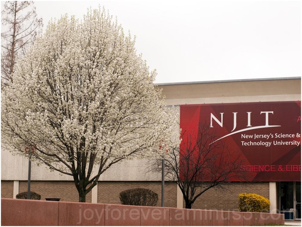 spring blossom flowers NJIT Newark white tree