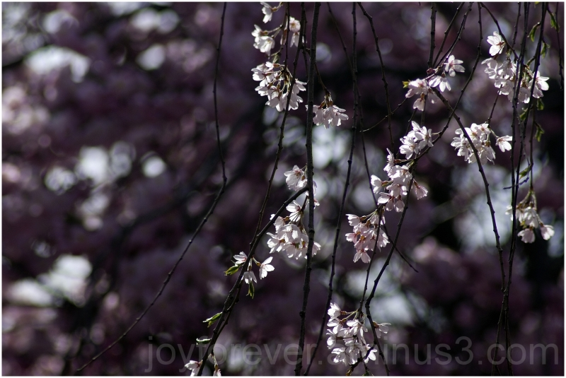 spring blossom flowers Branch-Brook-Park Newark
