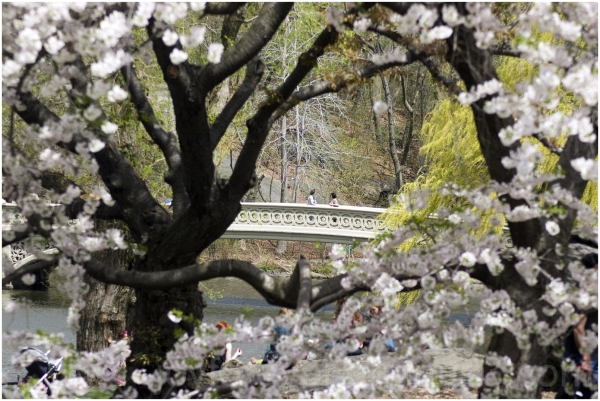spring blossom flowers NYC tree Central-park bow