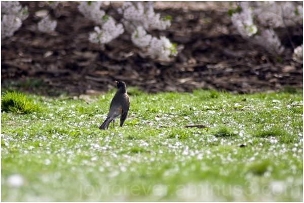 bird robin grass spring flower petals ground tree