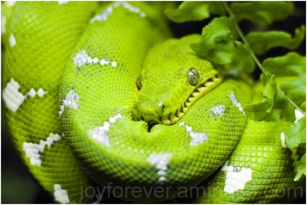 Green snake Emerald-tree-boa Boa aquarium close-up
