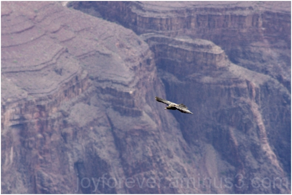 bird raven flight Grand-Canyon Arizona telephoto