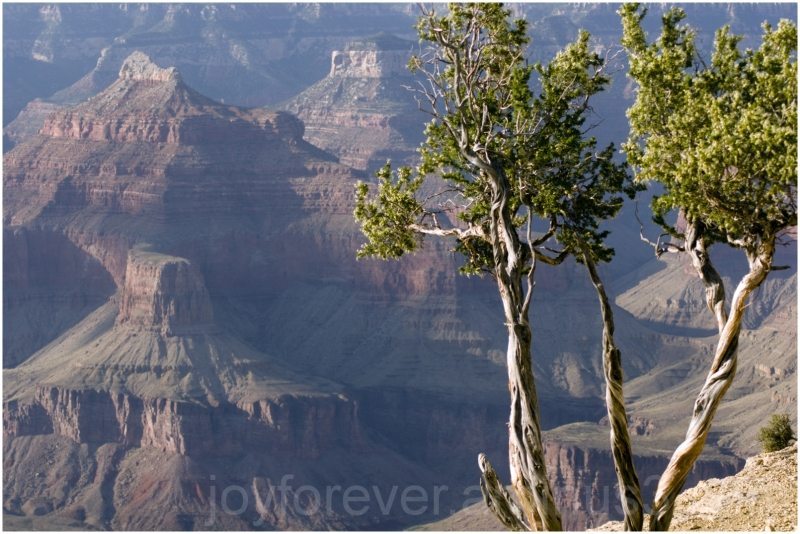tree juniper Arizona trunk twisted Grand-Canyon