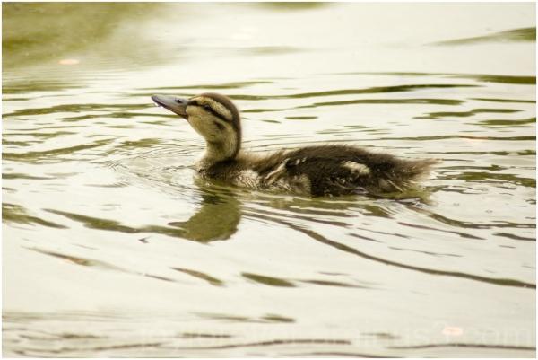 duck duckling water bird Washington DC pool