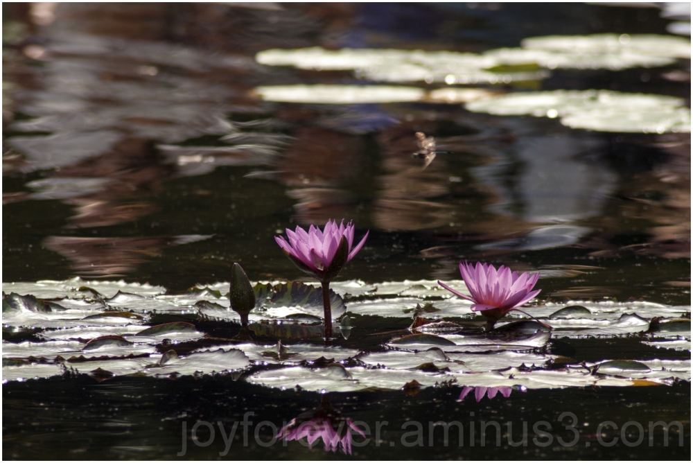 waterlily water flower plant Bethesda fountain NYC