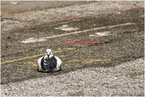 pigeon road street bird camouflage grey white NYC