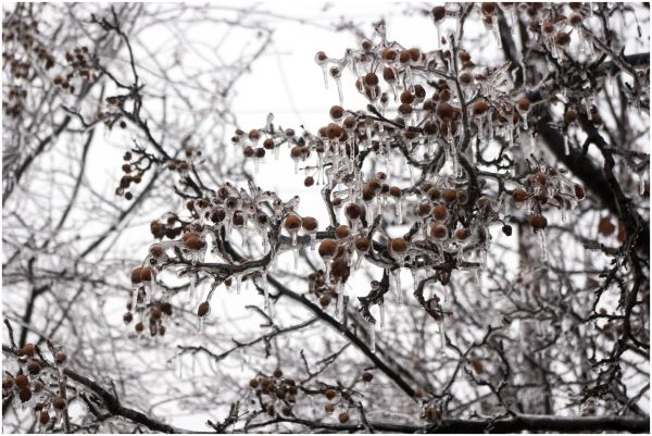 ice tree frost snow fruits winter weather cold