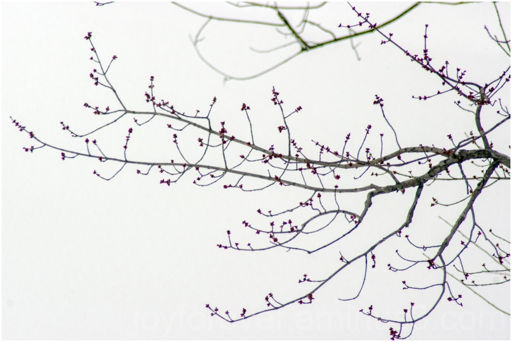 tree snow snowfall winter cold spring buds weather