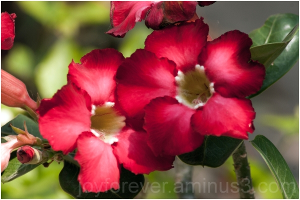 adenium plant flower red
