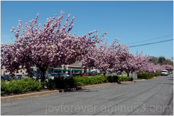 spring cherry blossom pink flower Virginia tree