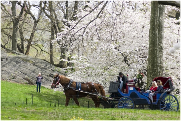 spring horse carriage pink flower central-park NYC