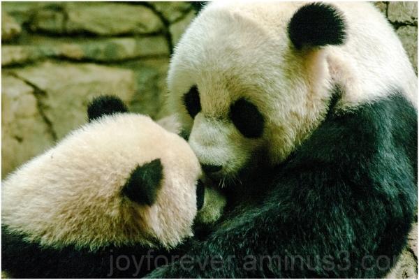 Giant-panda bear animal mother cub zoo Bao-Bao DC