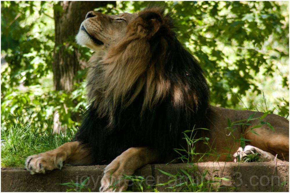 lion animal Washington DC zoo big-cat