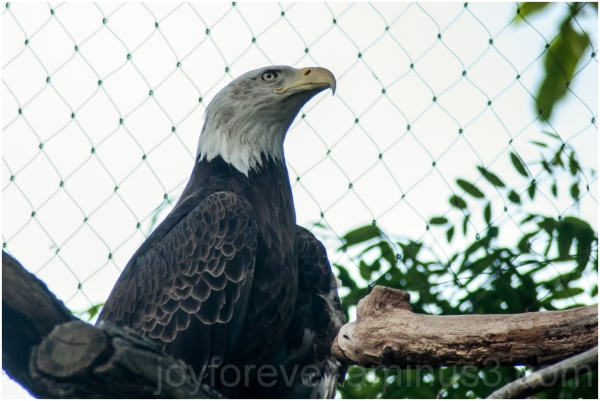 bald-eagle bird USA independence day DC zoo