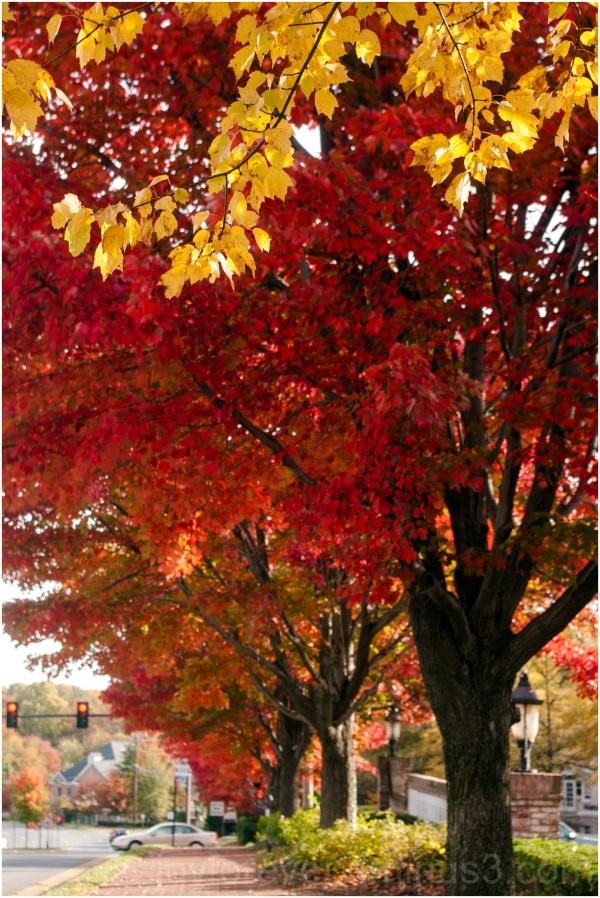 Fall foliage color trees maple Fairfax Virginia