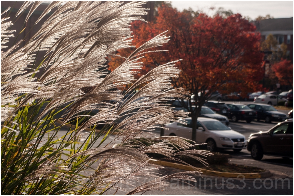 Fairfax Virginia plants fall tree old-town