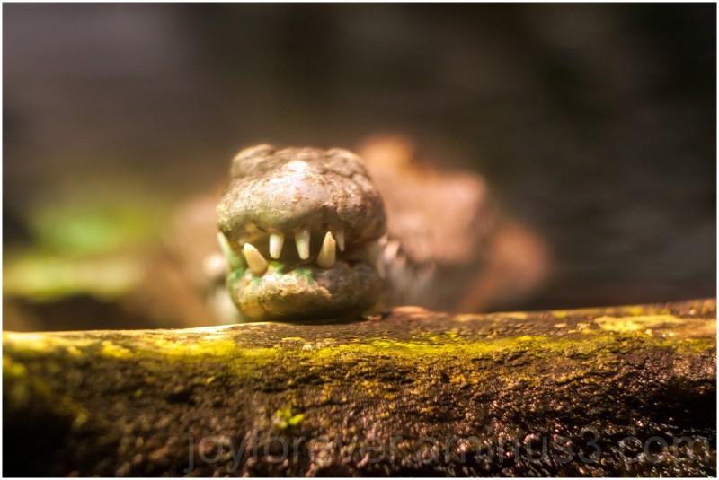 National Aquarium Baltimore crocodile teeth