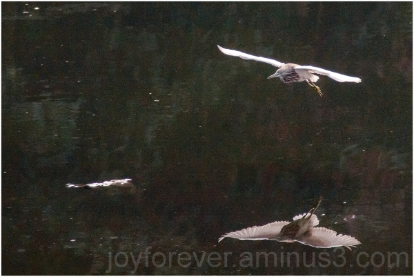 bird pond heron flight flying water reflection