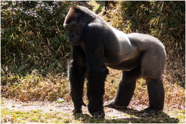 gorilla ape animal Washington DC National zoo