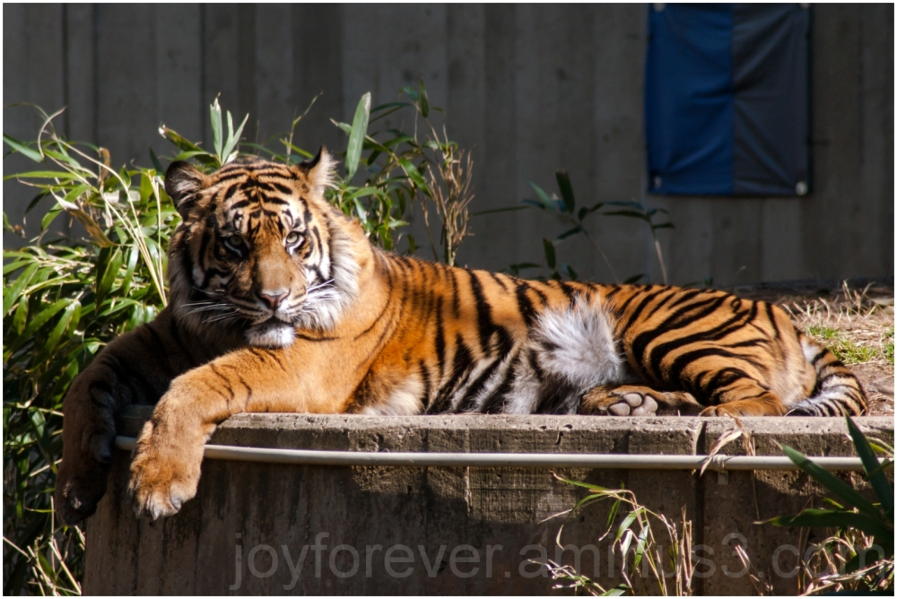 Tiger zoo cat Washington-DC animal