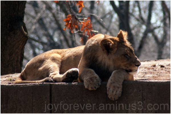 lion zoo cat Washington-DC animal