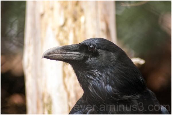 bird raven zoo Washington DC Smithsonian