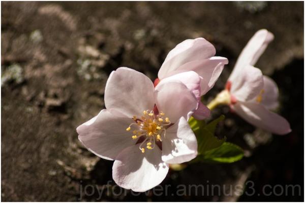 spring cherry blossoms flower Washington DC