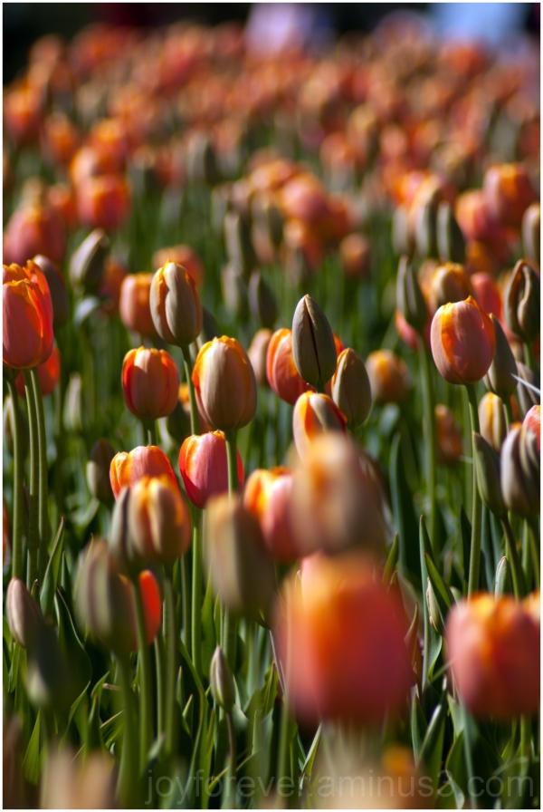 tulip flower spring red pink spring Burnside Farm