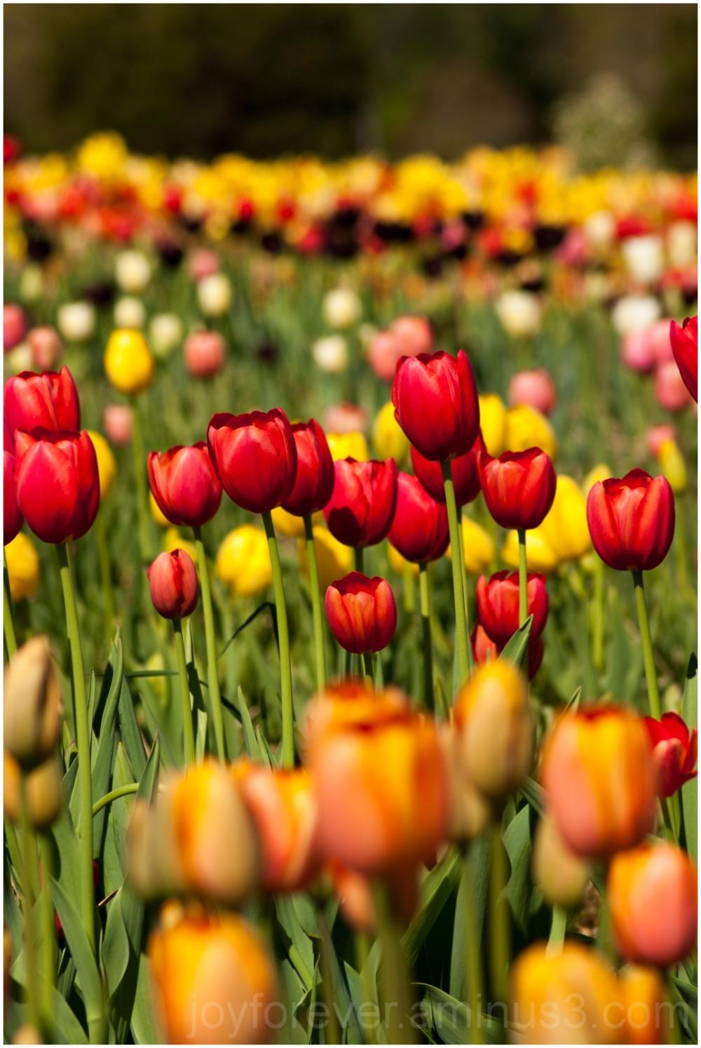 tulip flower spring red yellow spring Burnside VA
