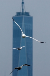 World-trade-center WTC seagull New-York-City NYC