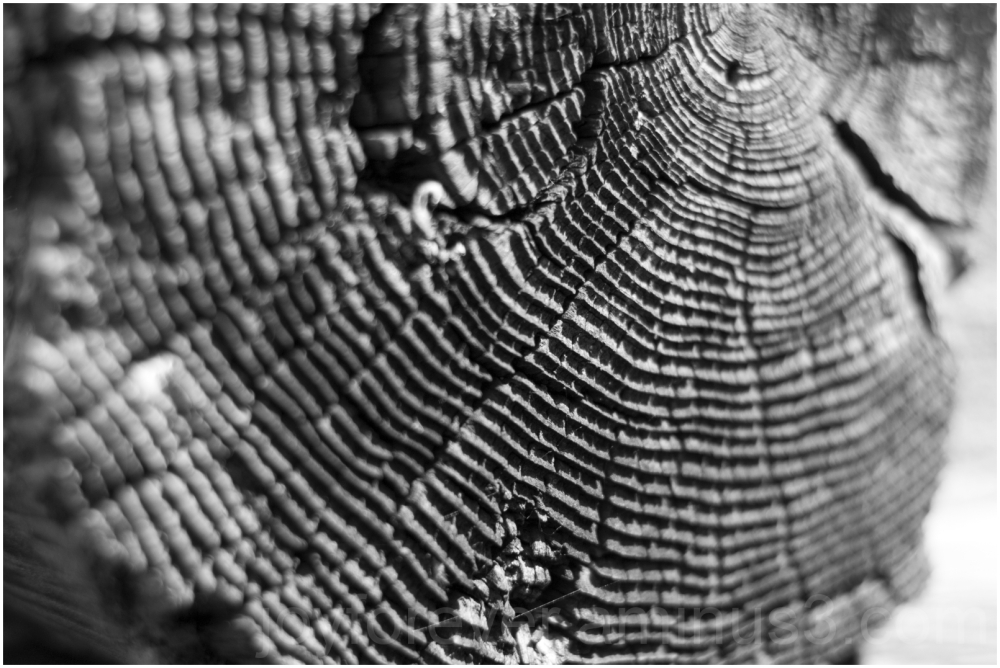 wood texture black-and-white growth-ring log