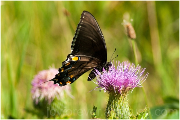 butterfly flower plant insect Shenandoah