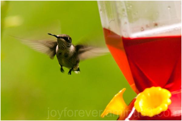 bird hummingbird feeder lake-forest wildlife