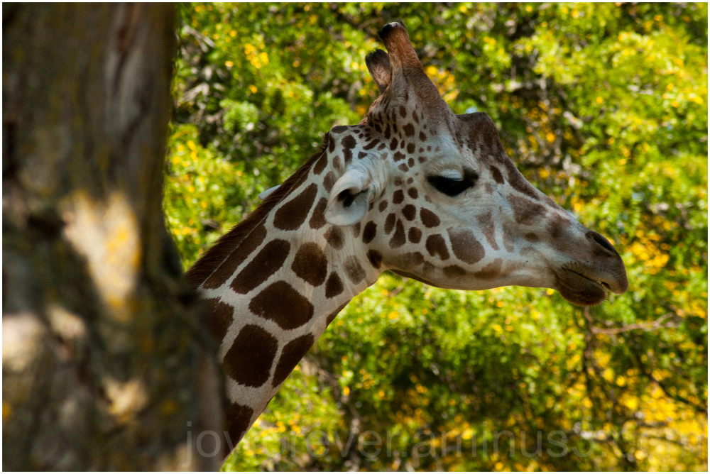Giraffe animal mammal fall zoo Madison Wisconsin