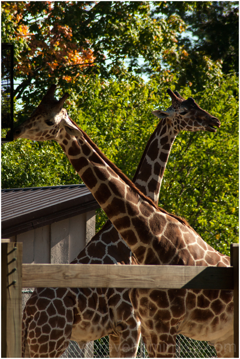 Giraffe animal mammal neck zoo Madison Wisconsin
