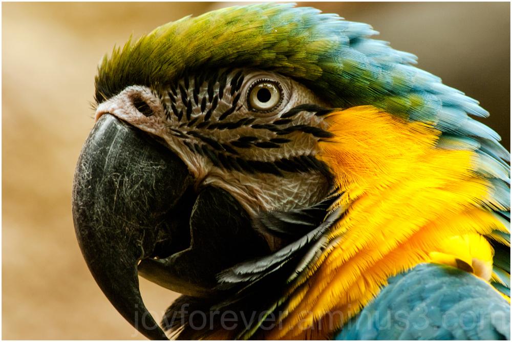 Macaw parakeet parrot bird Blue yellow zoo
