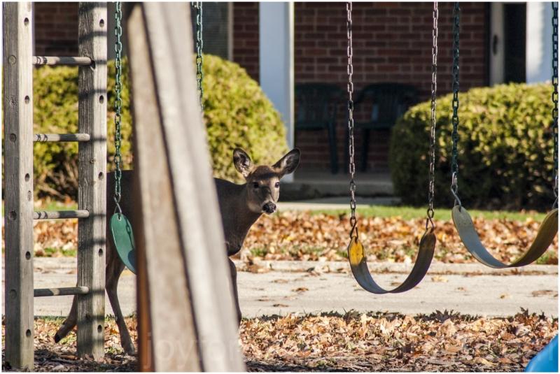 deer fawn animal playground LakeForest Illinois