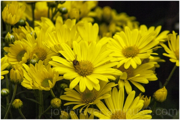 yellow flower chrysanthemum bee insect plant