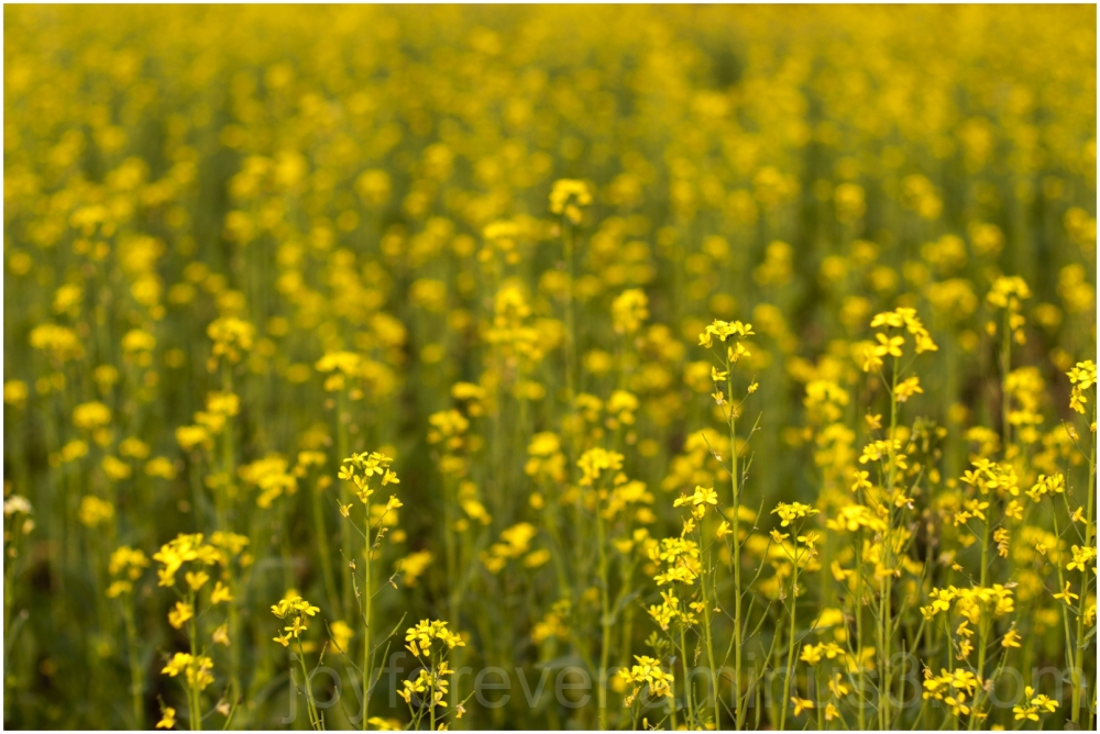 mustard plant yellow green flowers bengal India