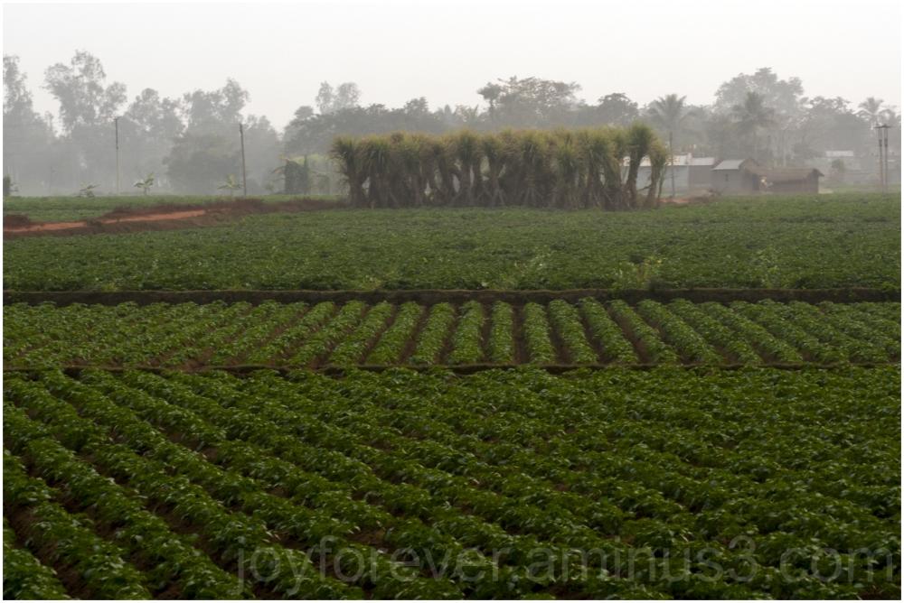 potato sugarcane farming farm agriculture India